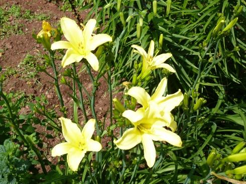 PEI Lilies